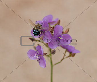 Australia native bee on Australian wildflower Murdannia graminea