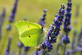 Butterfly, Gonepteryx, resting on flower