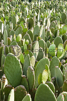 Prickly pear (opuntia) cactus nopal