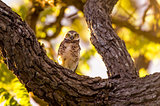 Owl Staring