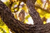 Owl Staring