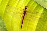 Dragonfly on leaf