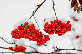 Rowanberry in the snow