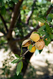 Almond Tree