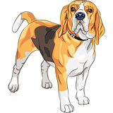 vector sketch serious dog Beagle breed 