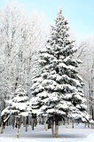 Christmas fir trees with snowy branches 