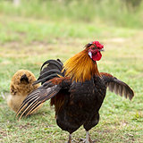 Male Cockerel rooster on guard with hen