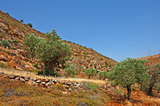 Olive Grove