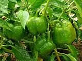 bell pepper plant