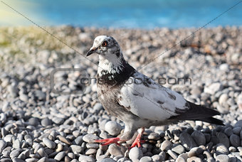Gray pigeon on the stones