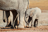African elephant calf