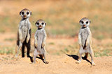 Meerkat babies