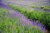 Beautiful low angle wide shot of colorful lavender field in Summ