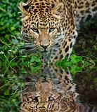 Beautiful leopard Panthera Pardus big cat amongst foliage reflec