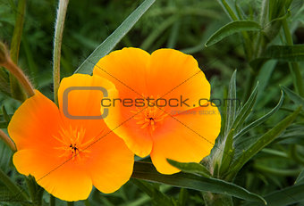 Vibrant orange wild poppy papaver rhoeas flower with shallow dep