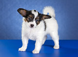 Small Papillon Puppy