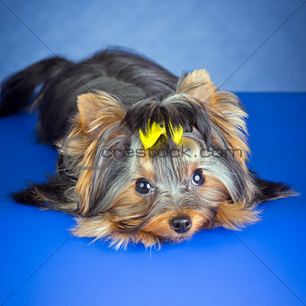 Young Dog Yorkshire Terrier lying