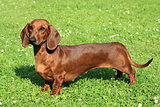 Portrait of Standard smooth-haired dachshund