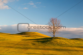 Lonely tree on the golf course