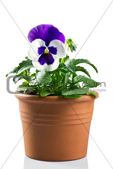 pansy in a pot on a white background