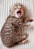Newborn yawning british baby kitten