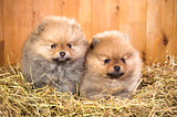 Two pomeranian puppy on a straw
