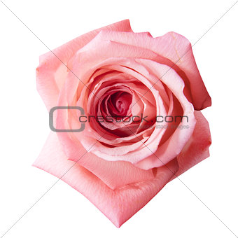 pink rose with path