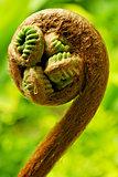 Hapuu Tree Fern (Cibotium Glaucum)