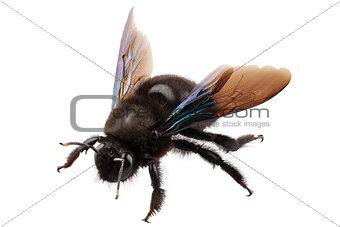 violet carpenter bee species xylocopa violacea