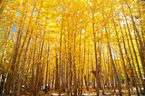Wide angle fall Aspen Trees