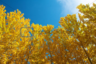 View of Fall Aspen Trees