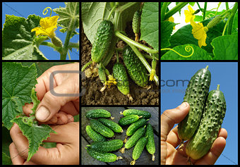cucumbers set