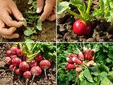 radishes set