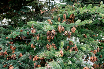 cones and spruce twigs as a christmas background