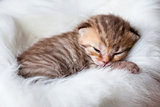 Newborn sleeping british baby cat