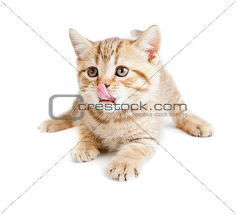 British baby cat or kitten lying and licking nose