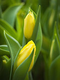 Mild two yellow tulip