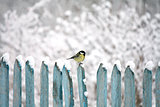 tit on fence