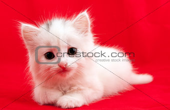 cat on red background