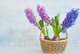 Hyacinths in a basket