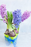 Three hyacinth with a bow