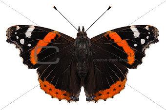 Butterfly species Vanessa atalanta