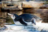 A Humboldt Penguin