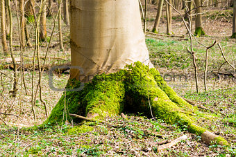 Bright green moss at the foot of a tree in spring forest