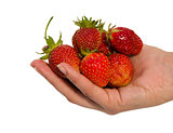 woman hand hold red ripe strawberries isolated