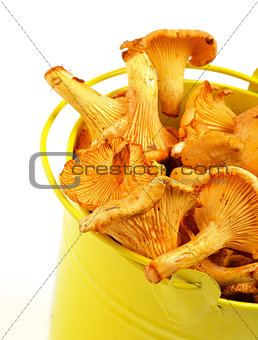 Chanterelles in Yellow Bucket