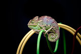 yemen chameleon
