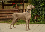 Weimaraner - handling