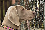 Weimaraner portrait