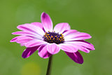 Purple Osteospermum, african daisy